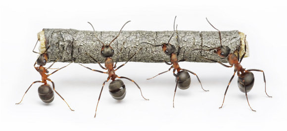 Ants-carrying-twig-teamwork-concept
